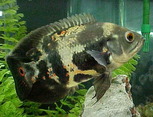 El acuarista criadores de peces ornamentales de argentina for Acuarios ornamentales