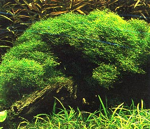 Cuidados del Musgo de Java (Vesicularia dubyana - a pedido de Mauricio) Vesicularia_dubyanai