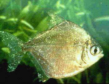 Opiniones de oodinium for Enfermedades de peces goldfish