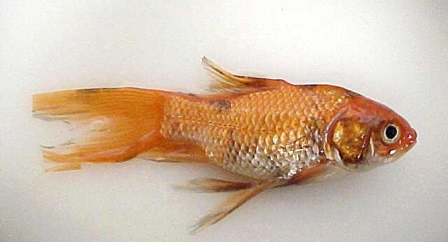 Ictiosanidade enfermedades de los peces ikhthys for Enfermedades de peces goldfish