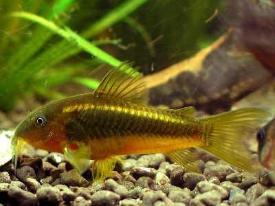 Guía básica de acuarios (mi primer acuario) parte IV Corydoras_melanotaenia-gold-stripe-chica