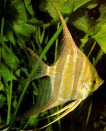 Entreanimales todo sobre el pez angel o escalar for Pez escalar enfermedades